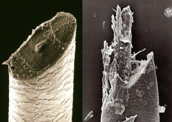 Волоски из бороды, срезанные двумя разными способами
