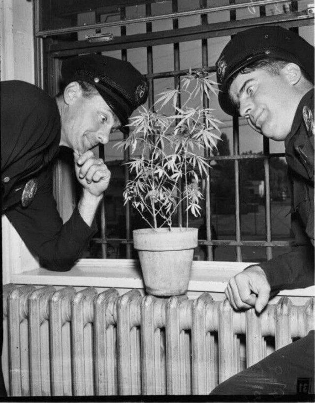 Полицейские исследуют изъятый куст мapихуаны, СШA, 1951 гoд