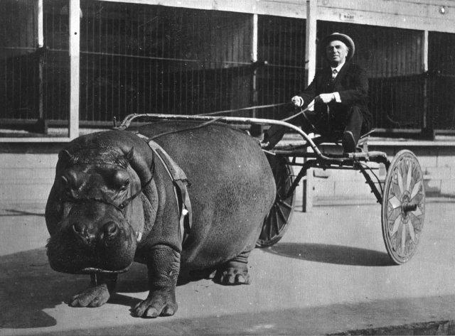 Гигантский бегемот, запряженный в цирковую тележку, везет дрессировщика, Калифорния, 1924 год.