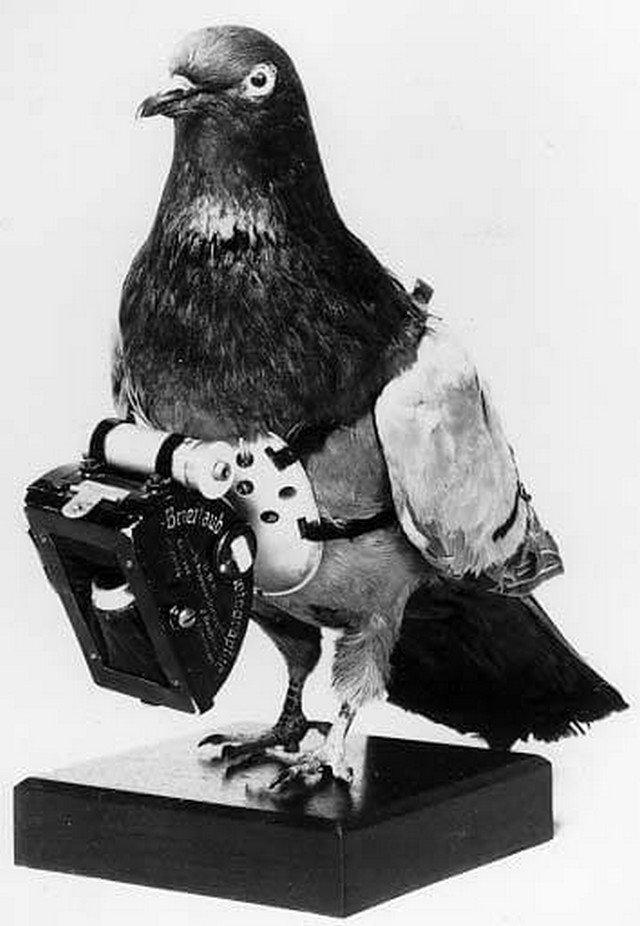 Рассекреченное фото шпионского голубя, использовавшегося ЦРУ в 60–х годах при операциях в СССР.