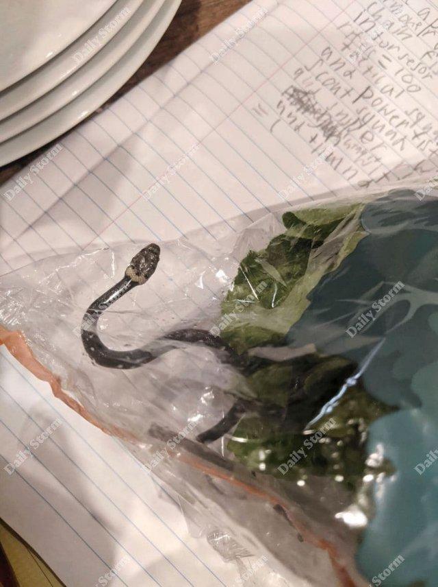 Змея Hoplocephalus bitorquatus в салате