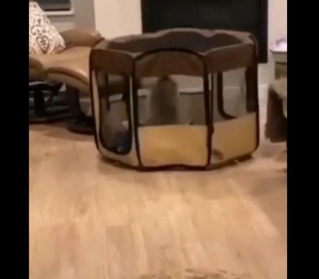Смешной пес, который придумал, как перемещаться, находясь взаперти