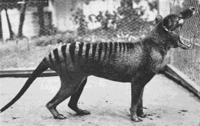 Последний снимок сумчатого волка, 1933. Сейчас этот вид не существует.