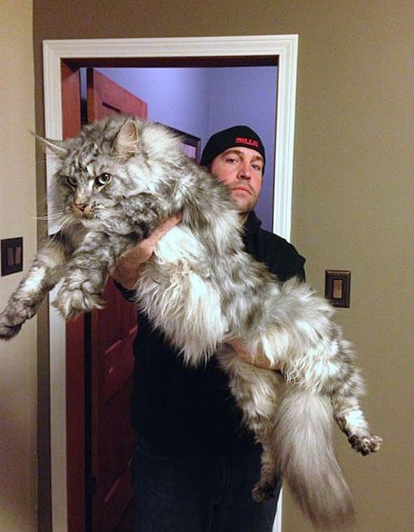 Мейн-куны — цари среди котов
