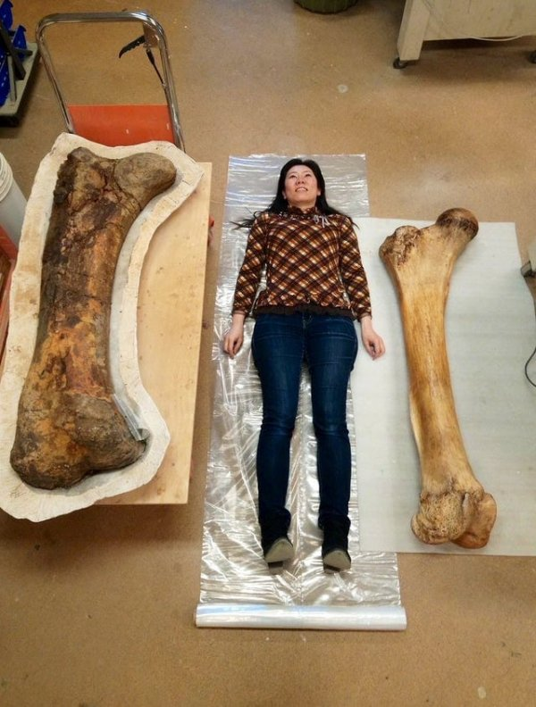 Бедренная кость трицератопса (слева) vs бедренная кость слона