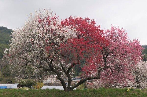 Это персиковое дерево цветёт тремя разными цветами