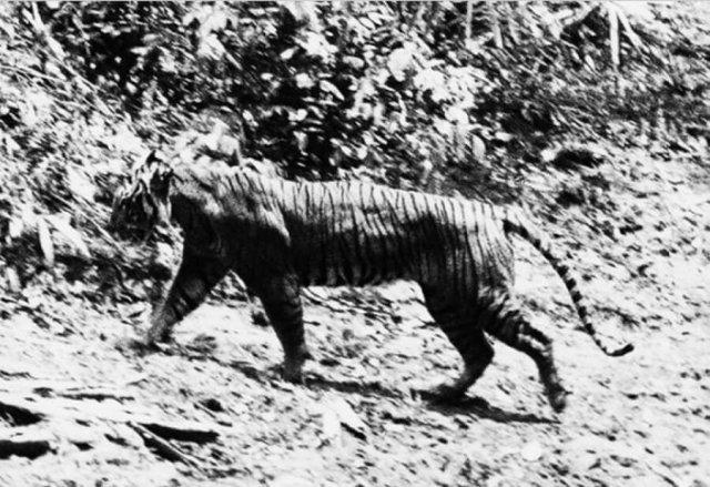 Последнее фото яванского тигра – полностью исчезнувшего вида животного, 1954 год