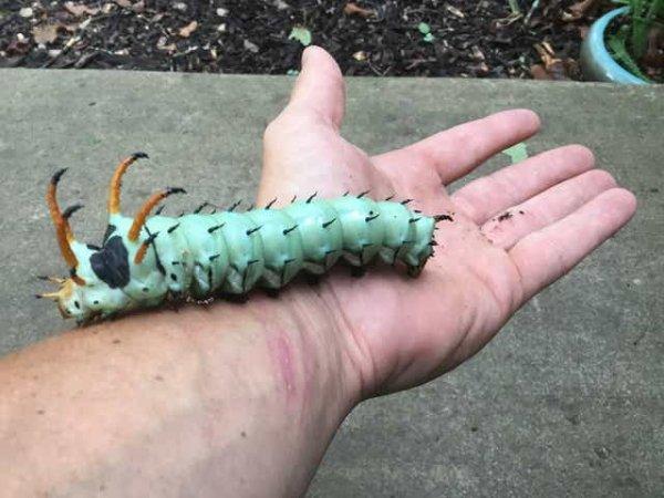 Гусеница королевской ореховой моли. Выглядит пугающе, но она совершенно безобидна