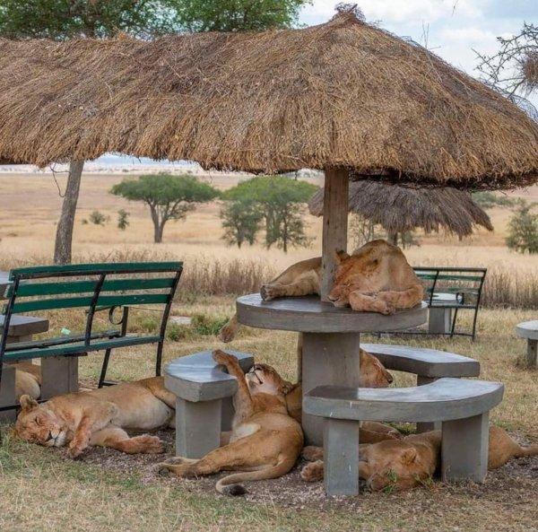 Львицы на пикнике