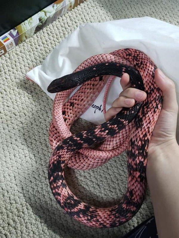Плетевидный полоз, который выглядит как красивая игрушка