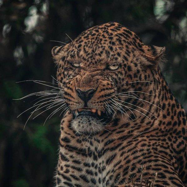 Не все леопарды — фотогеничные симпатяжки