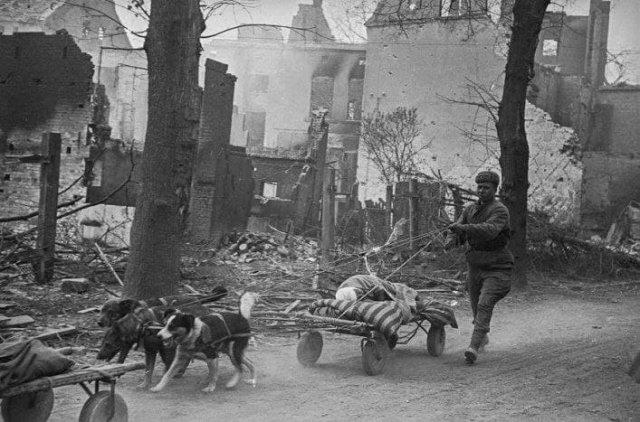 Апрель 1945 года. Зееловские высоты, Германия. Раненых солдат эвакуируют на собачьих упряжках.