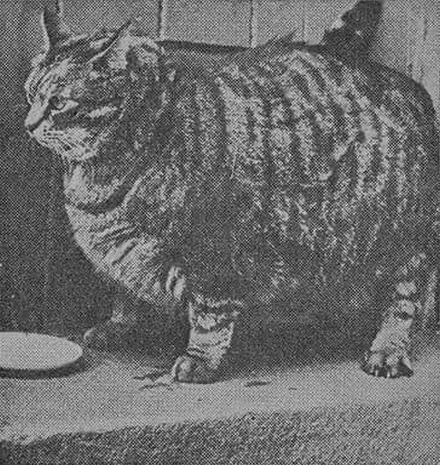 В 1950 году книга рекордов Гиннеса назвала Клауса из Сан-Франциско самым толстым котом. В 8 лет он весил 18 кг и был 91 см вокруг талии.