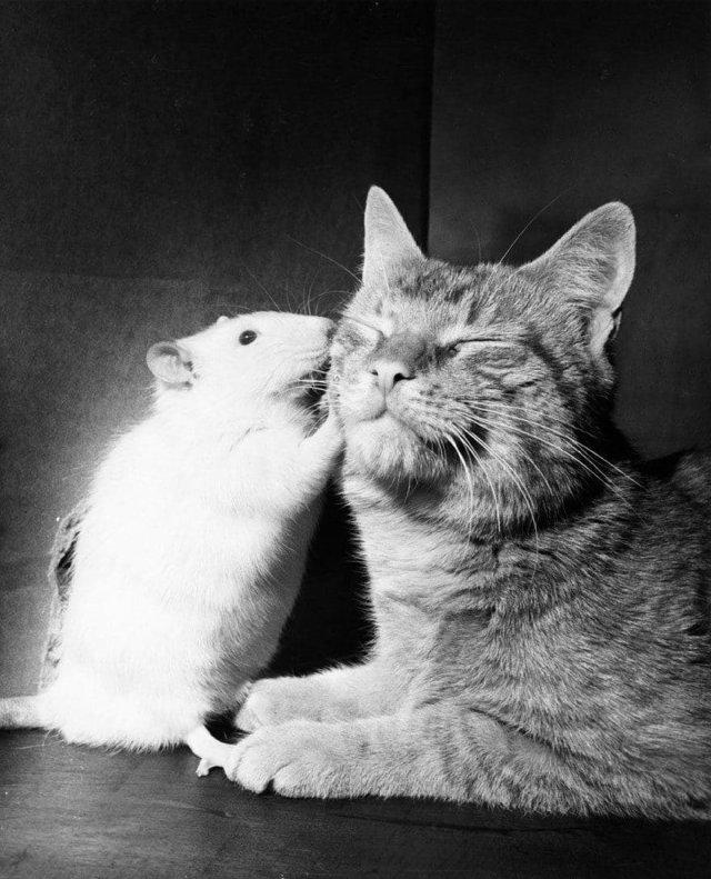 Когда разновидовые животные pacтут вместе, они часто утрачивают враждебность. Фото: апpeль 1964 годa.