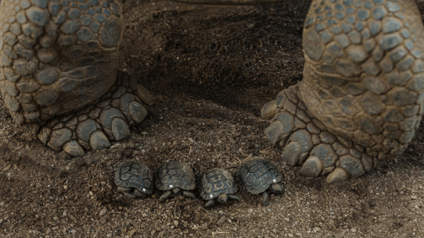 Слоновая черепаха-мама и её только что вылупившиеся дети