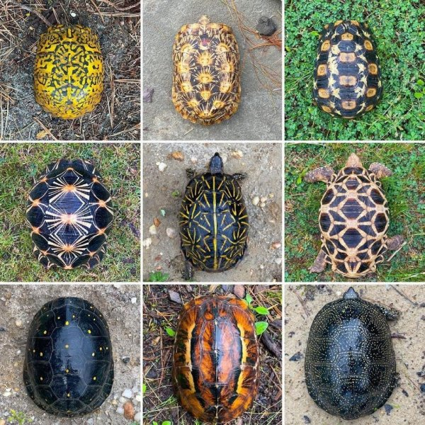 Варианты раскраски панциря черепах