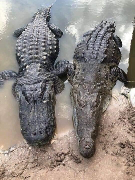 Слева аллигатор, а справа крокодил