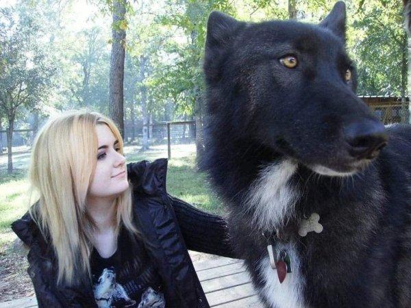 Разница в размерах между человеком и волкособом — гибридом волка и собаки