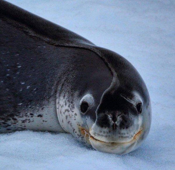 Тюлень, который решил поспать на снегу