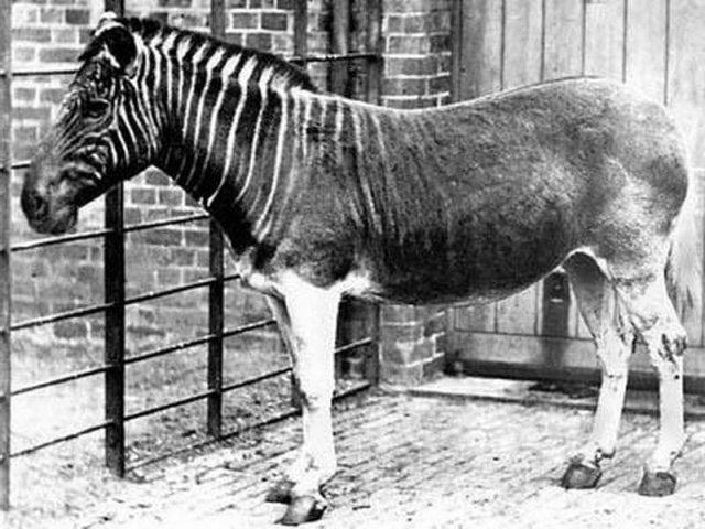 Квагга - вымерший подвид бурчелловой зебры. Последняя живая квагга была сфотографировала в Зоологическом сообществе Лондона в 1870 году.
