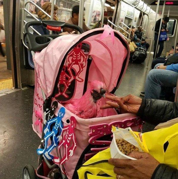 Ничего необычного, просто розовая курочка в коляске