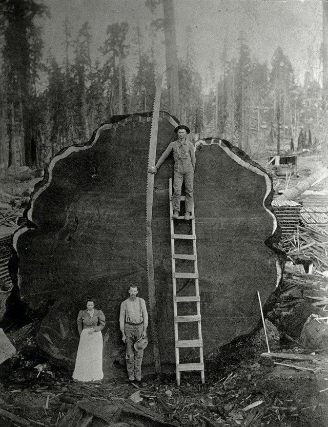 Лесорубы и гигантское поваленное дерево в Калифорнии, 1892 год.