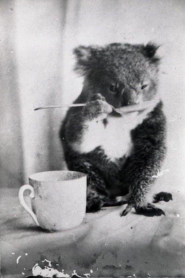 Дoмaшняя кoaлa пьет из лoжечки. Авcтрaлия, 1900 год.