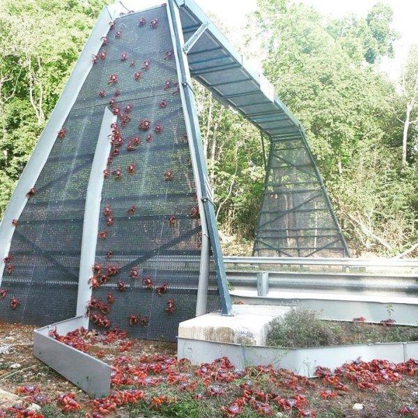 На острове Рождества в Австралии установлено более 30 мостов и переходов для красных крабов