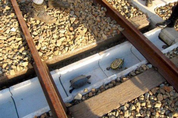 В Японии под железнодорожными путями сделаны проходы для черепах