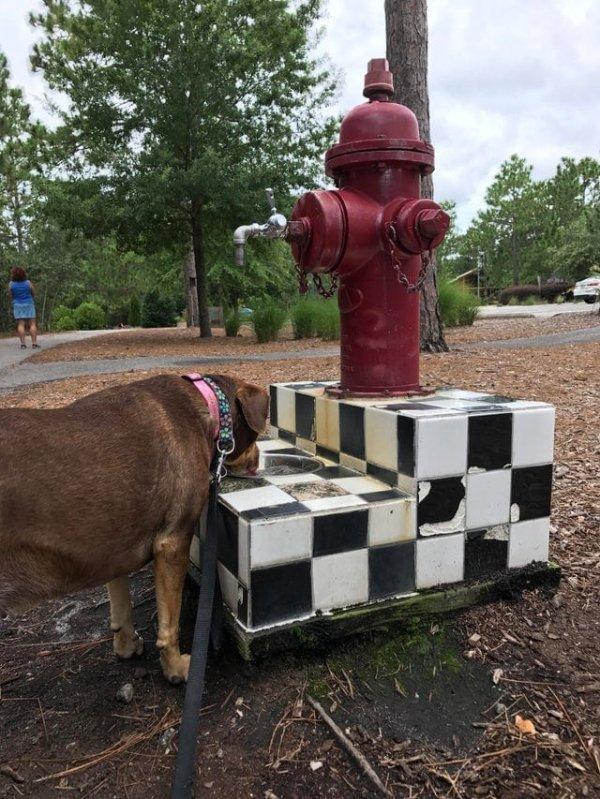 Пожарный гидрант одновременно служит и питьевым фонтанчиком для собак