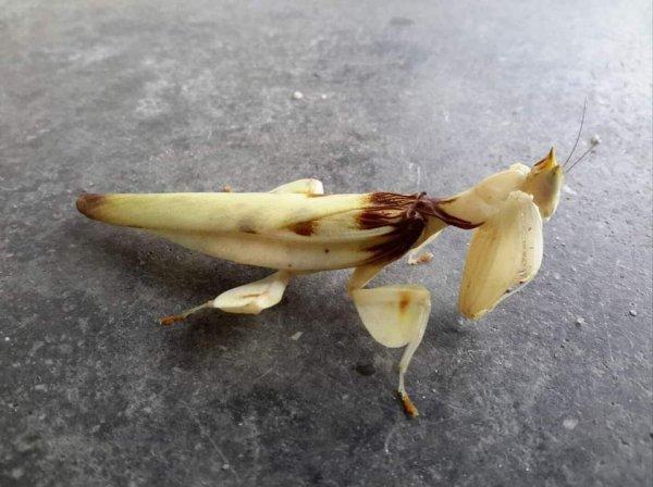 Живой банан
