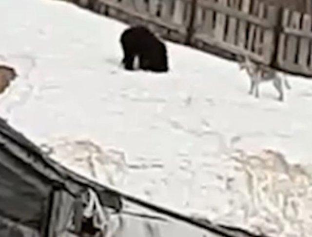 На Сахалине сняли смешного медведя, который катался со снежной горки