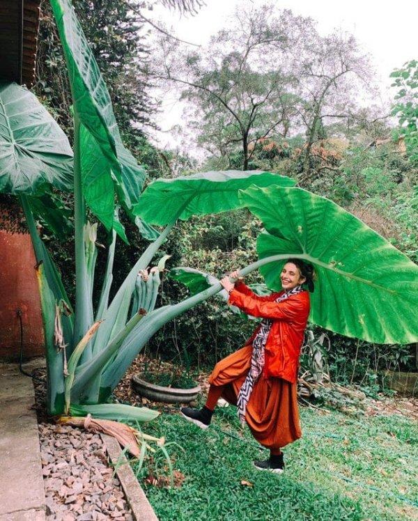 Огромные листья растения под названием маланга