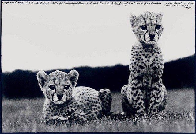 Осиротевшие детеныши гепарда в Национальном парке. Мвейга. Кения, 1968 год.