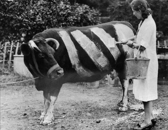 Фермер красит корову во время Второй Мировой Войны, чтобы случайно не стала жертвой наезда автомобиля, Великобритания, 1939 год.