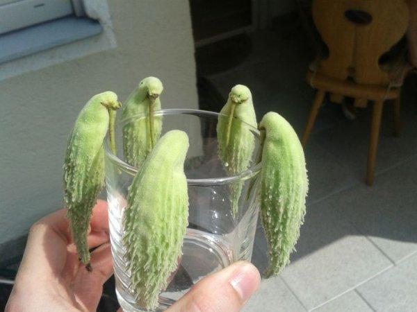 Попугайчики собрались выпить или это соцветия асклепиаса?