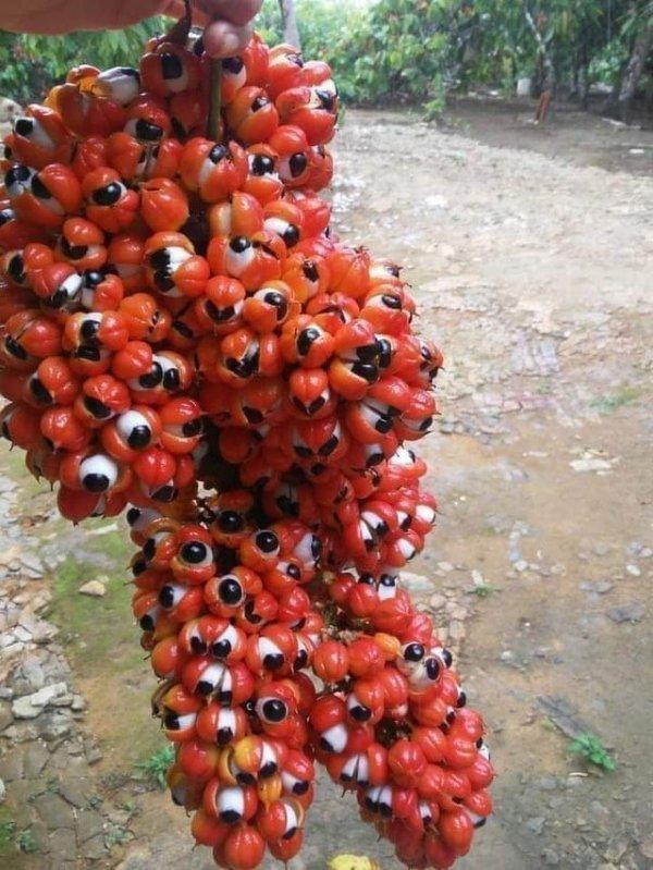 Гроздь ягод гуараны следит...