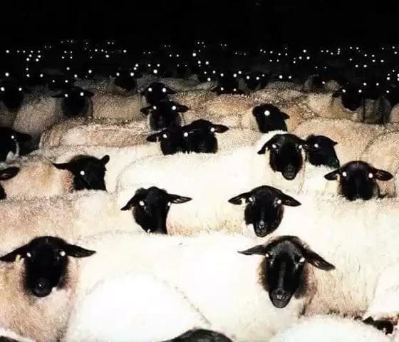 Овцы в ночи