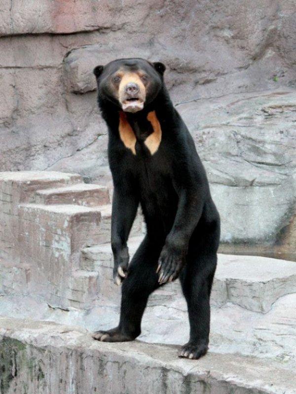 Малайский медведь выглядит как человек, который надел костюм медведя и не знает, как себя вести