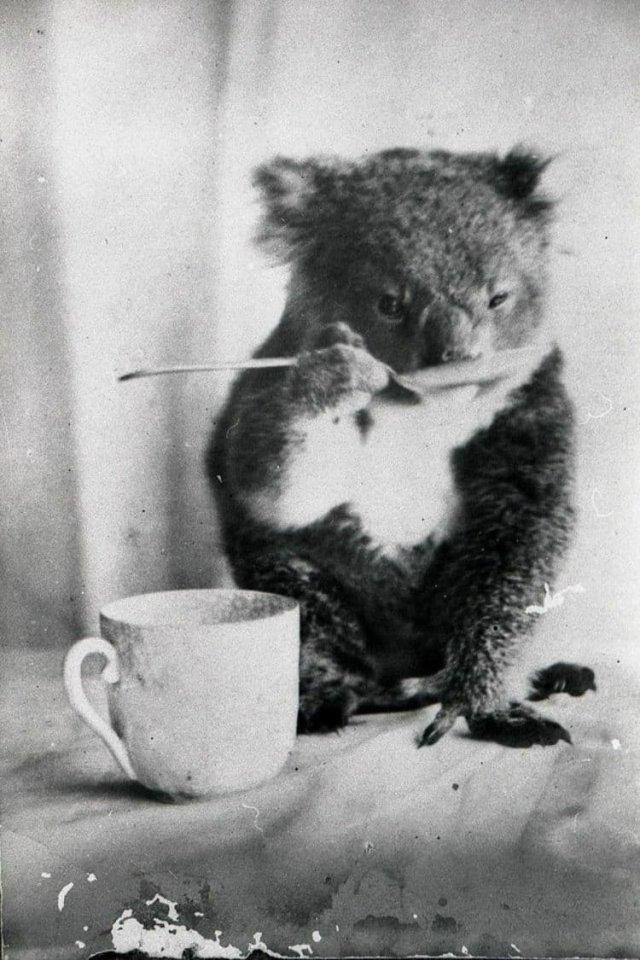 Домашняя коала пьет из ложки, Австралия, ок. 1900 года