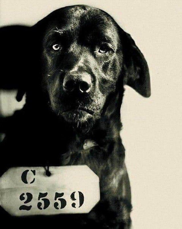 Пес по кличке Пип, осужденный на пожизненное заключение за убийство кота губернатора. США, 1924 год.