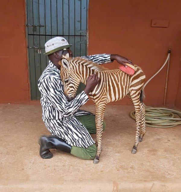 Сотрудники фонда охраны дикой природы носят специальную одежду для ухода за осиротевшим жеребёнком зебры.