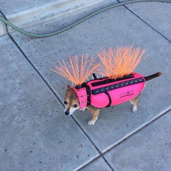 Чихуахуа в специальной защитной одежде от нападения ястреба и койота