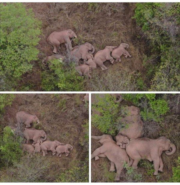 Дикое стадо бродячих слонов отдыхает после 500-километрового перехода по Китаю