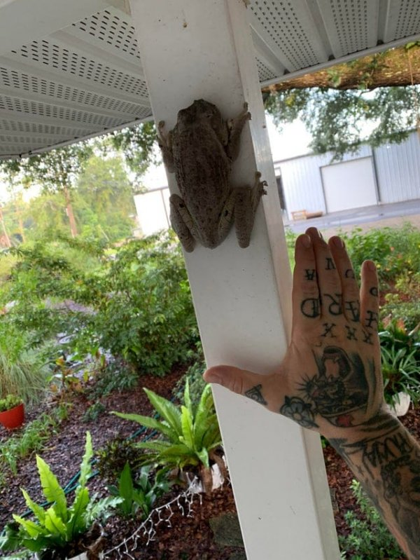Я нашёл огромную древесную лягушку