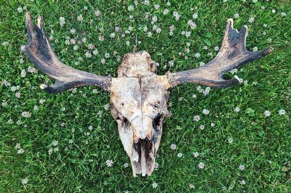 Сегодня я нашёл в лесу обгоревший череп лося