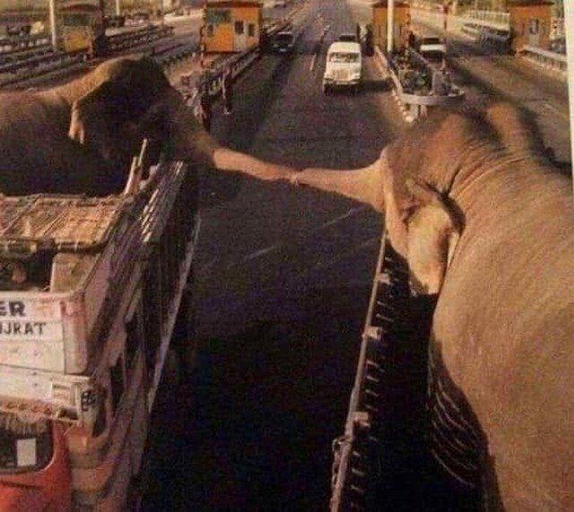 Эти слоны пробыли в одном зоопарке 12 лет. Теперь их развозят в разные зоопарки и они больше никогда не увидятся