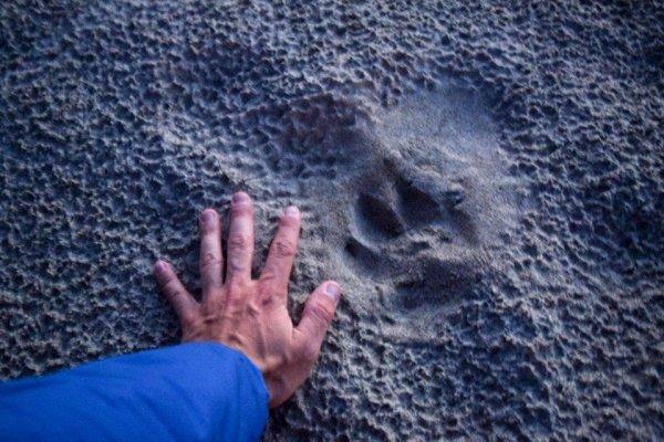 След волка по сравнению с рукой