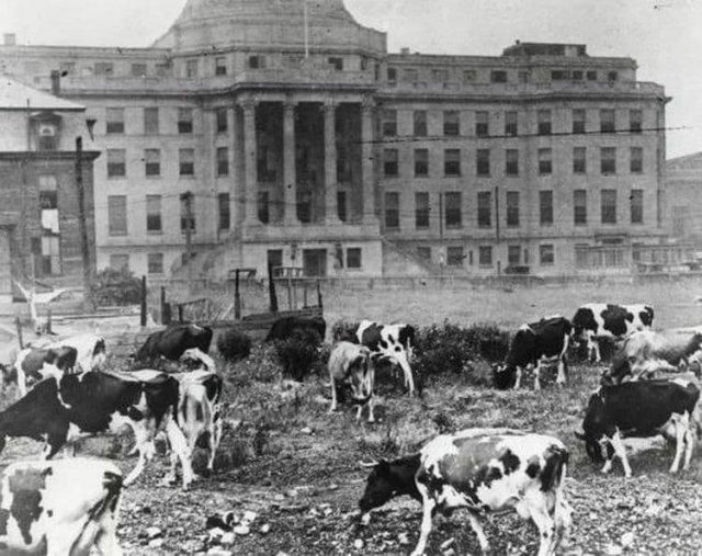 До 1930 года Бостонская детская больница содержала коров для производства свежего молока