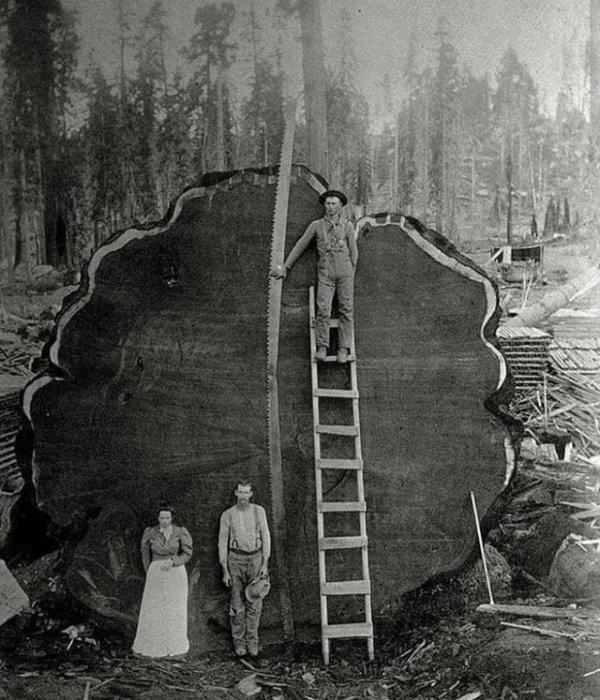 Семья лесорубов и 1300-летнее дерево, которое они спилили